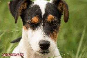 Tobi der Jack Russell Terrier © Leroymike - Eventfotograf aus Fulda www.shooting-star.eu