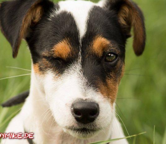Jack Russell Terrier Tobi