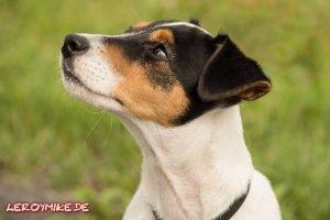 Jack Russell Terrier Tobi © Leroymike - Eventfotograf aus Fulda www.shooting-star.eu