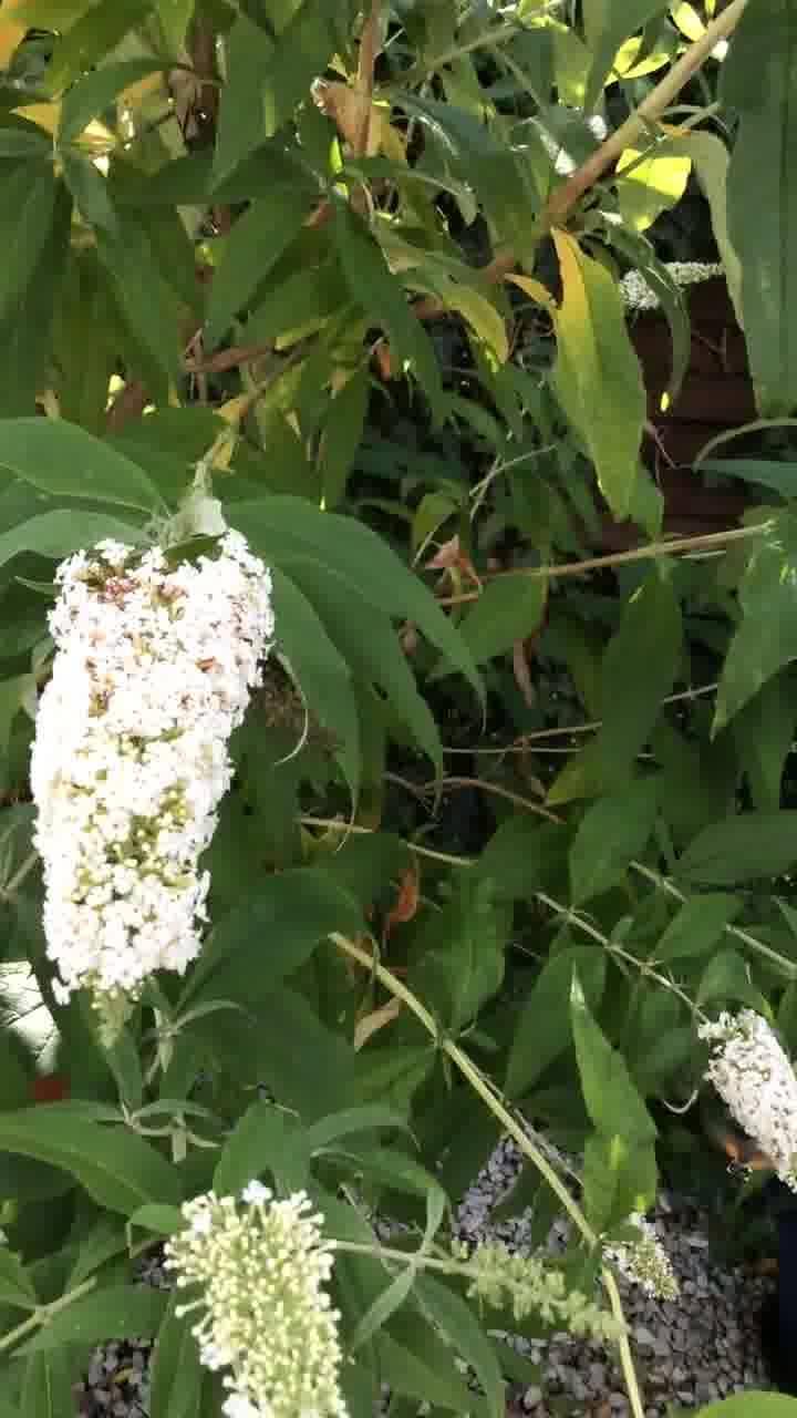 Schmetterlingsbaum mit Taubenschwänzchen