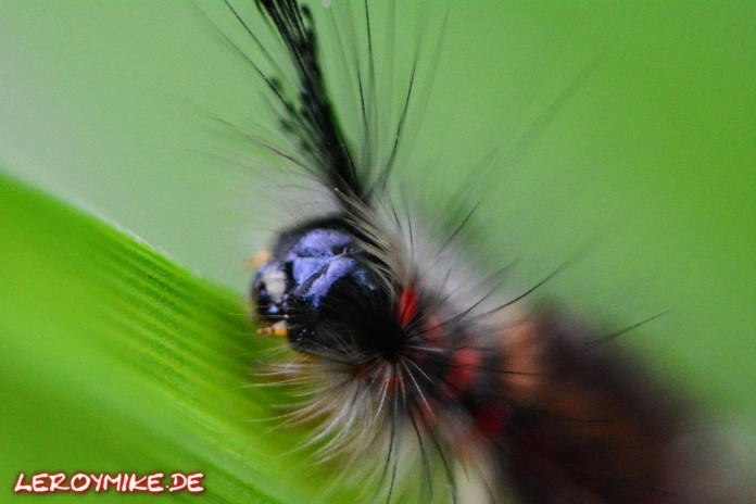 Raupe des Schlehen-Bürstenspinners